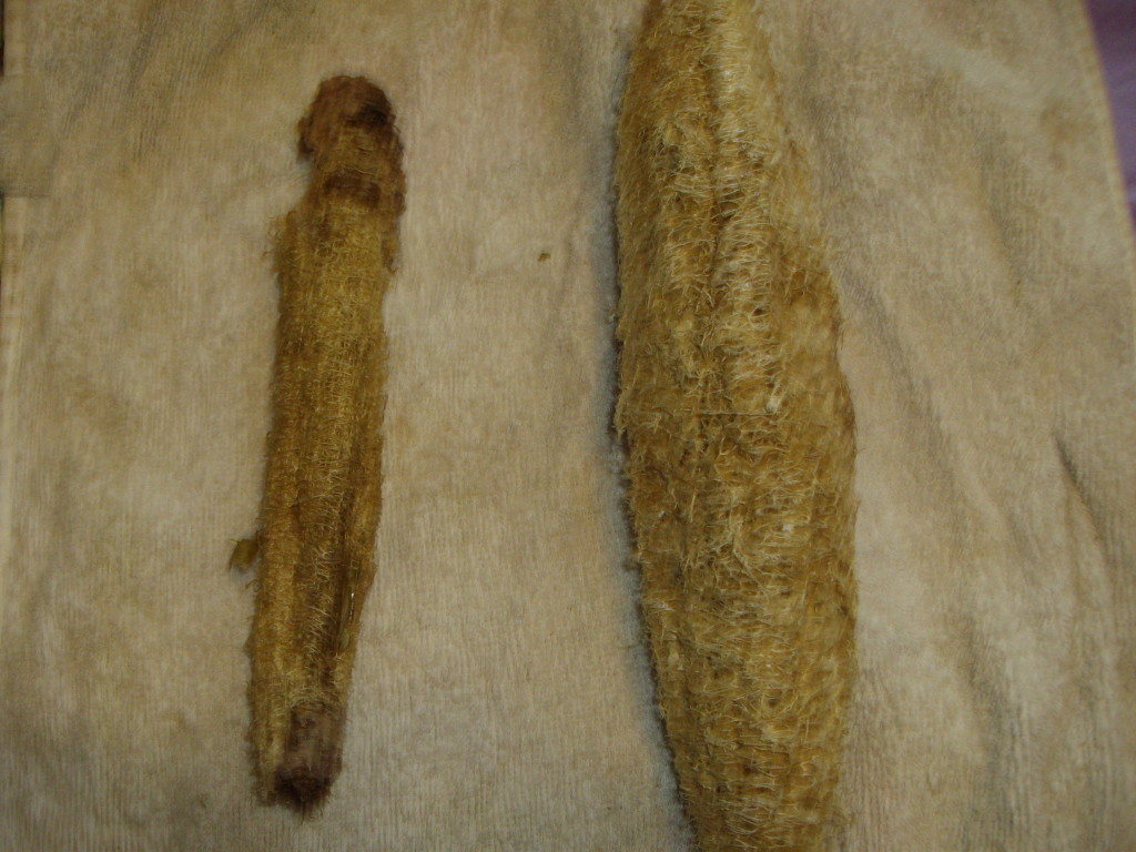 Do not adjust your monitor, the image is not that fuzzy. The fuzziness you see on the image is the sap that's left in the luffa even after it's dried. Left: dipped and stripped; right: left and peeled.